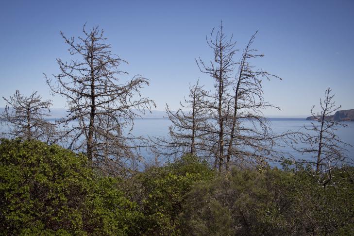 Dead Bishop pines