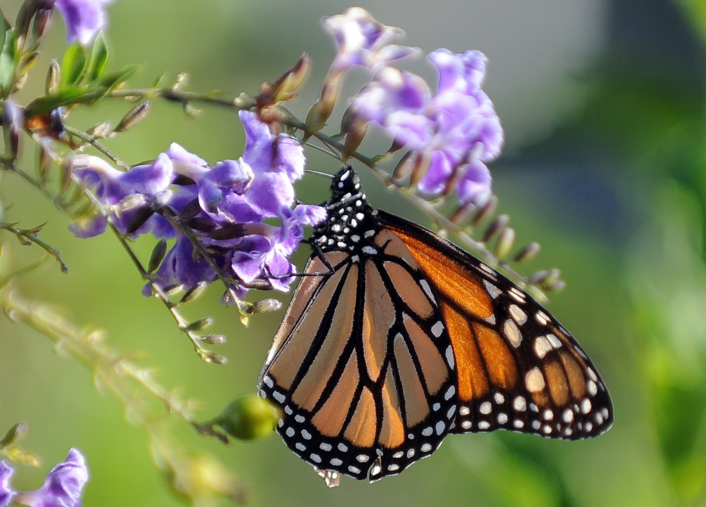 A Monarch butterfly is in a flower in Los Angeles, California on October 28, 2010. The Monarch is famous for its southward migration and northward return in summer in the Americas which spans the life of three to four generations of the butterfly. AFP PHOTO / GABRIEL BOUYS (Photo credit should read GABRIEL BOUYS/AFP/Getty Images)