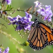 A Monarch butterfly is in a flower in Lo