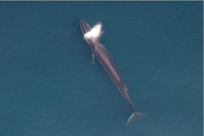 Endangered Sei Whale