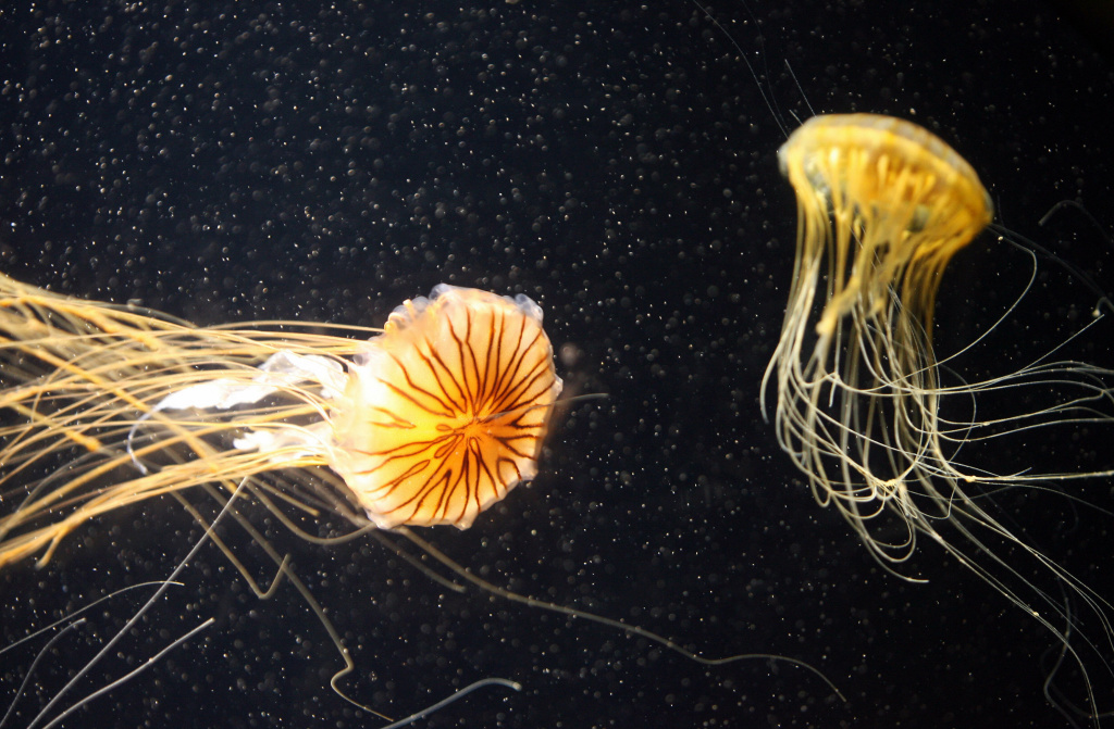 Pacific sea nettles swim in the Aquarium of the Pacific in Long Beach, California in November 2006.