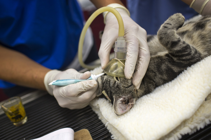 A feral cat is sedated and prepared to be fixed at Fix Nation in Sun Valley on Friday, Sept. 12. The non-profit organization is the only of its kind operating a free, full-time spay and neuter clinic in Los Angeles for feral cats.
