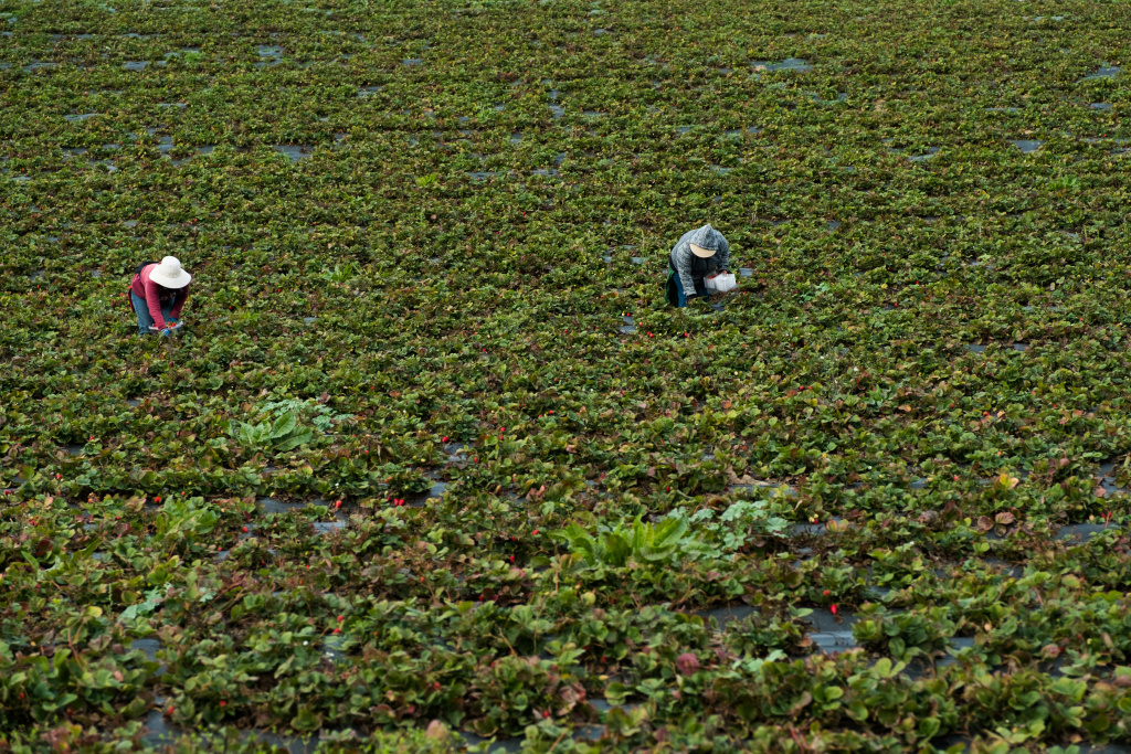 Workers pick strawberries on Bertha Magaña's Prunedale farm. Andrew Nixon / Capital Public Radio