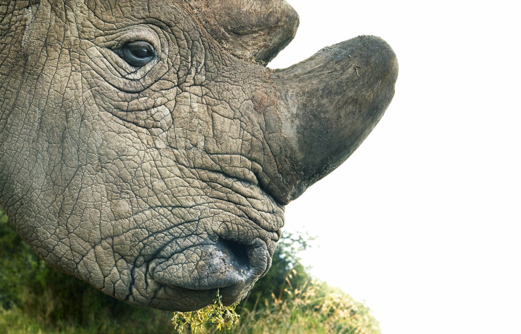 Northern white rhinos have been hunted for their horns, which are believed — without evidence — to have medicinal properties. The population is down to two females and one male.