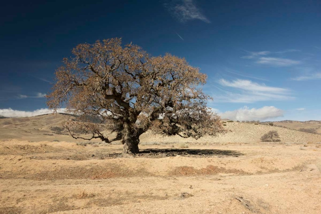 Blue oak trees up to 500 years old thrive in California's drought-scorched foothills. Their rings provide a unique record of drought and wetness for the Golden State