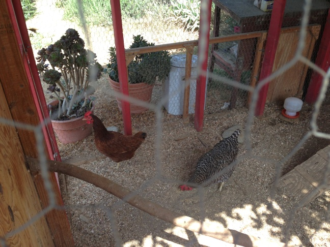 Happy chickens in their coop at Taking the Reigns in Atwater Village