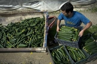 A farm worker throws away cucumbers into a container outside a greenhouse on June 1, 2011 in Algarrobo, near Malaga. A virulent form of the bacterium E. coli has killed 16 people in Germany and sickened 300. Germany acquitted Spain yesterday of being the source of infection. Spain's First Vice President and Minister of Interior, Alfredo Perez Rubalcaba, announced today that the government does not rule out taking 'action against Hamburg authorities who questioned the quality of Spanish products'