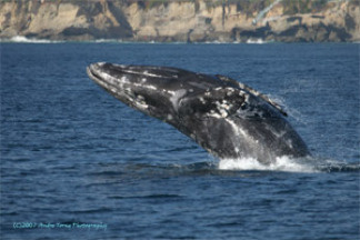 A whale breaching off the coast of Southern California.