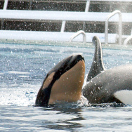 In October the California Coastal Commission ruled to ban orca breeding at the SeaWorld San Diego theme park.