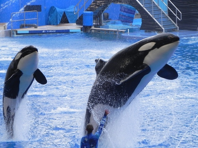 Killer Whales (orcas) performing at SeaWorld. A proposed California bill would ban orca shows at the theme park.