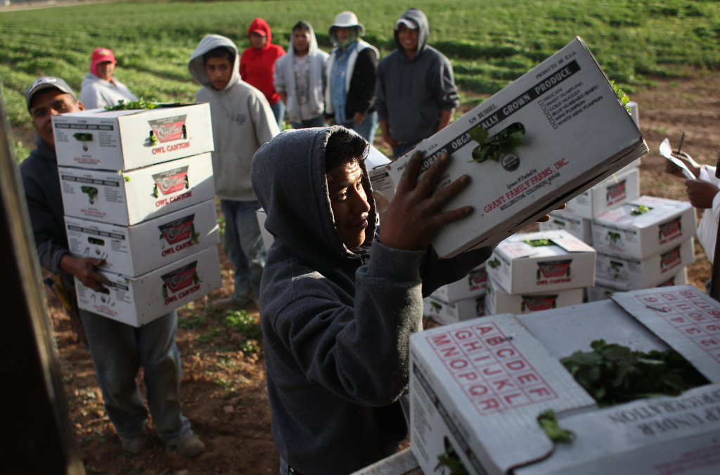 Migrant workers from Mexico load boxes of organic cilantro during the fall harvest at Grant Family Farms on October 11, 2011 in Wellington, Colorado.