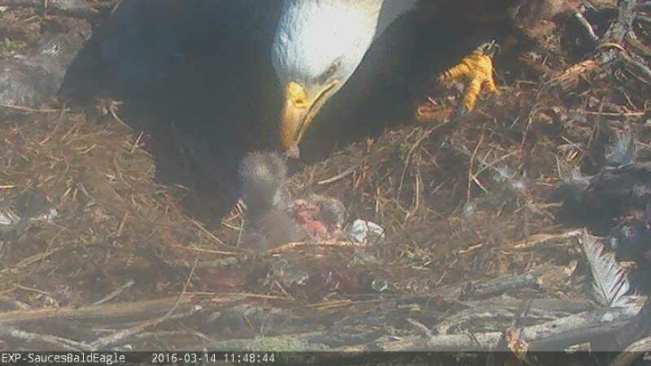 A mother bald eagle tends to the second of two chicks to hatch in recent days on California's Santa Cruz Island.