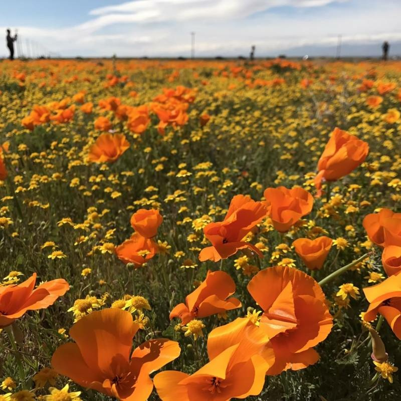 The Super Bloom in Neenach, California in April 2016.