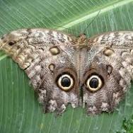 An owl butterfly's amazingly eye-like spots