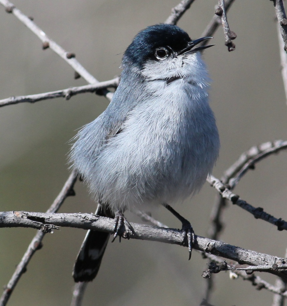 A property-rights group has petitioned to delist the Coastal California Gnatcatcher from the Endangered Species Act.
