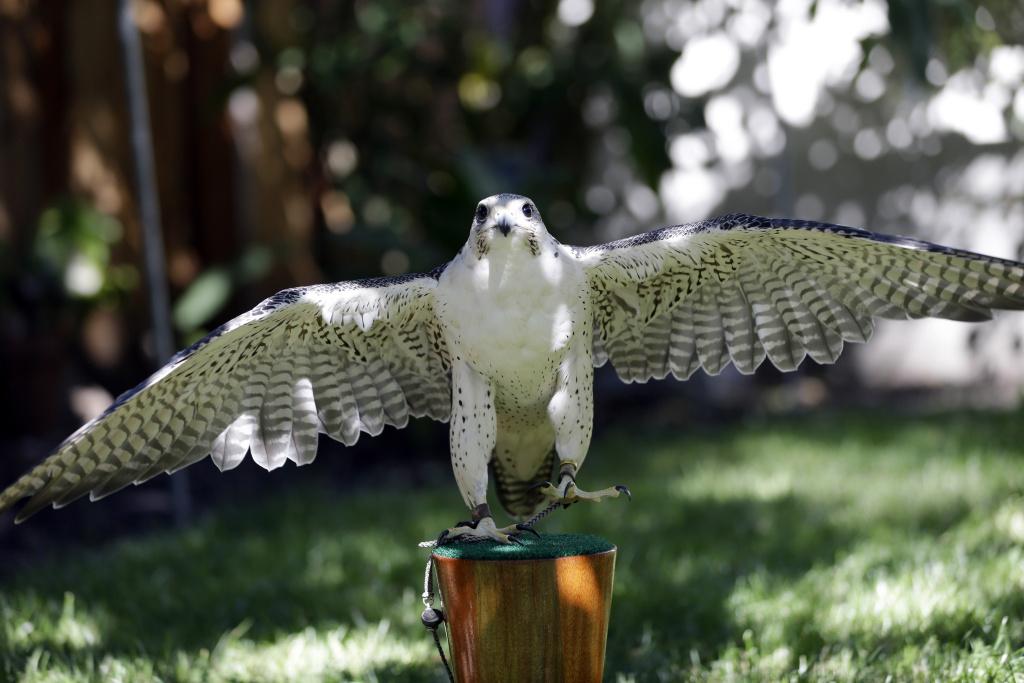 This June 19, 2013, photo shows Aura, a three-year-old female peregrine falcon, at the home of biologist Glenn Stewart in Santa Cruz, Calif.