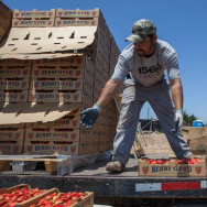 Farm worker Francisco collects strawberries from pickers and loads them for transport to a cooling facility on a farm.