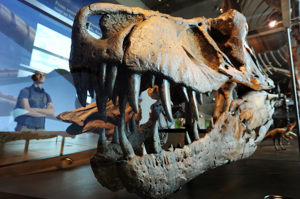 A visitor looks at a the skull of a Tyrannosaurus rex in the Dinosaur Hall at the Natural History Museum of Los Angeles on July 7, 2011.