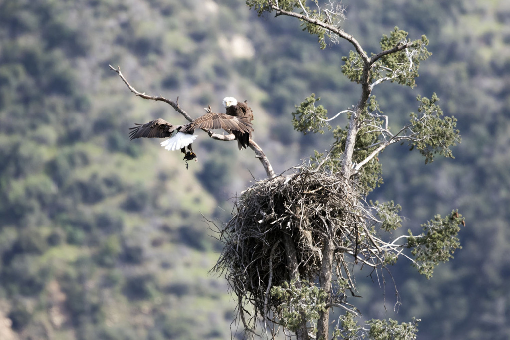 Bald eagle's nest, San Gabriel Canyon