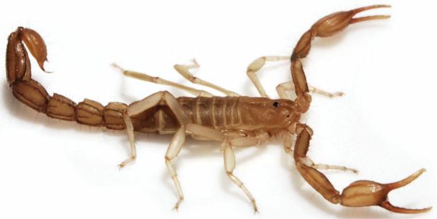 Wernerius inyoensis