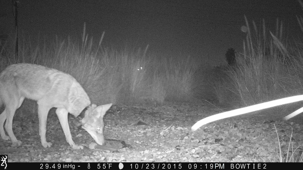 In this photo shot by a motion-triggered camera trap, C-146 is seen near the Los Angeles river in Northeast L.A. on the night of October 23, 2015.