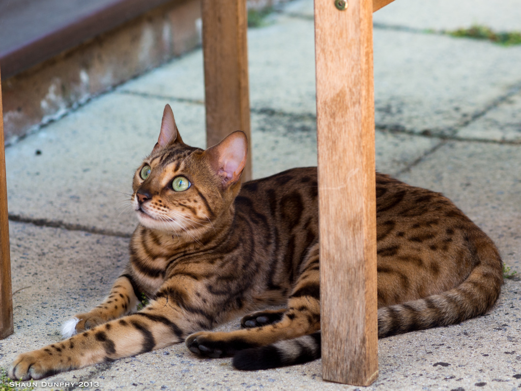 A photo of a Bengal cat. The Arcadia Cat Show returns on January 21 and 22.