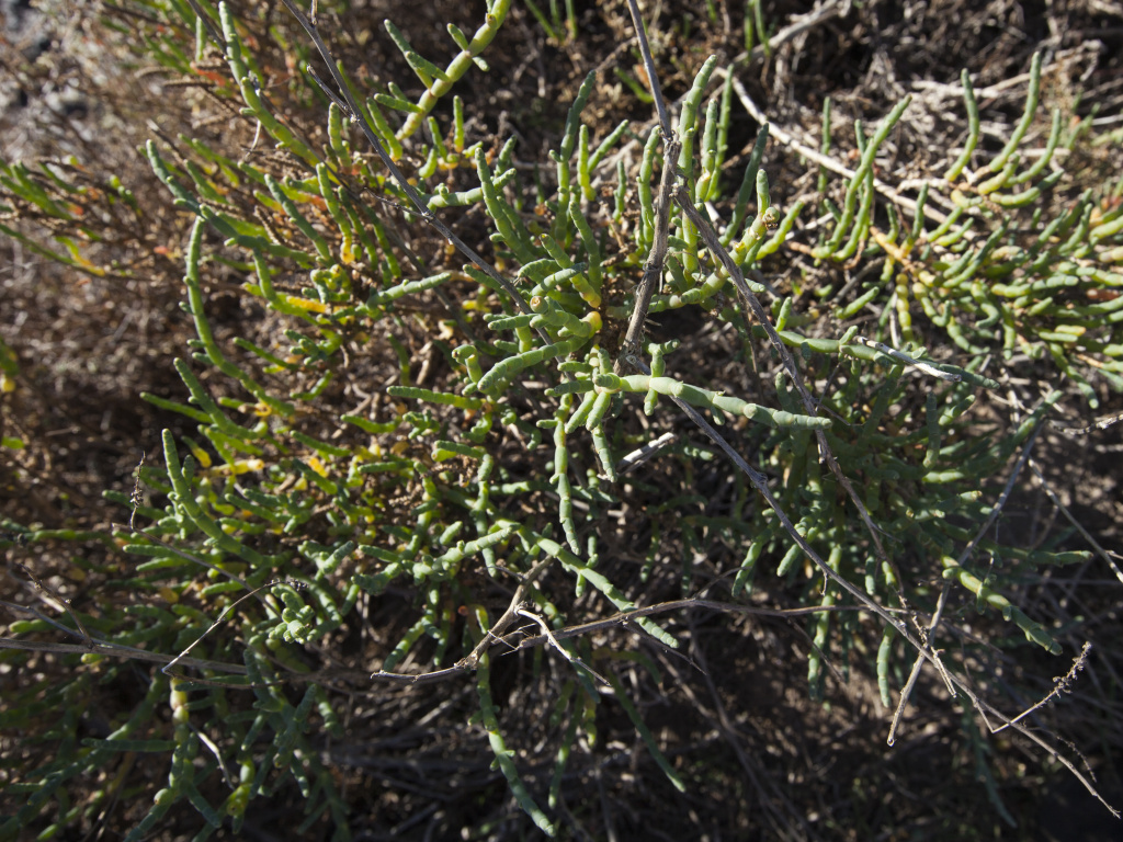 Pickleweed survives by separated salt from the water that engulfs it on a daily basis.