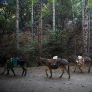 Donkeys Mules Angeles National Forest Recreation San Gabriel Mountains