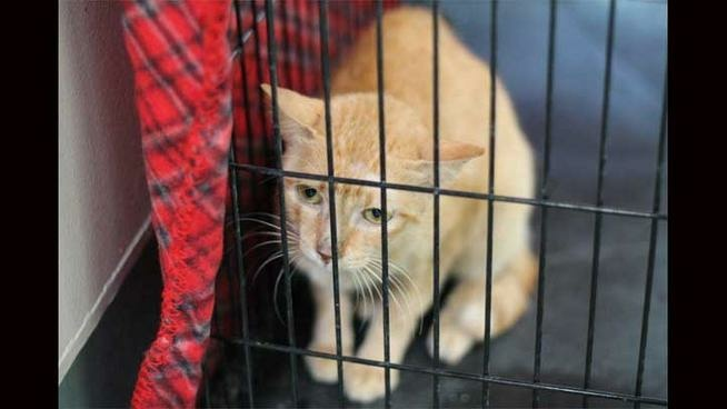 Pinay, a 4-year-old domestic short-hair, survived several weeks without food or water in a container ship that arrived in Los Angeles from the Philippines. She was found July 16, 2013.