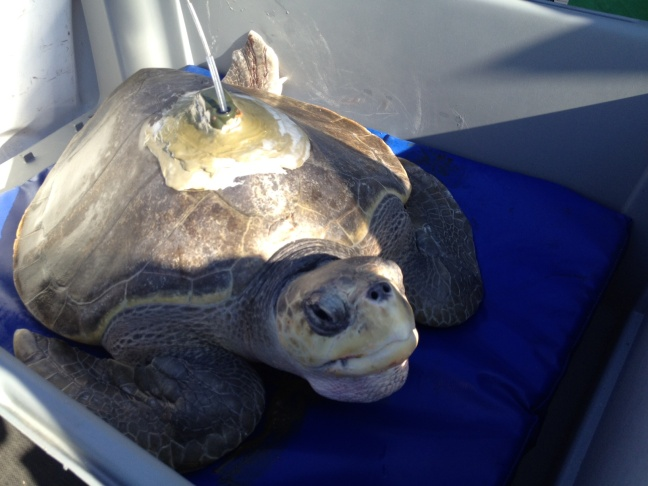 This olive ridley sea turtle, named LO13-1, was transported back to sea Thursday after spending nine months putting on weight andrecuperating at the Aquarium of the Pacific in Long Beach.