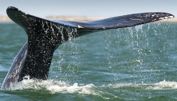 Whales, tuna, turtles and fish were among the creatures tracked as part of Stanford's 10 year study of 23 species off the California coast. Here: a gray whale.