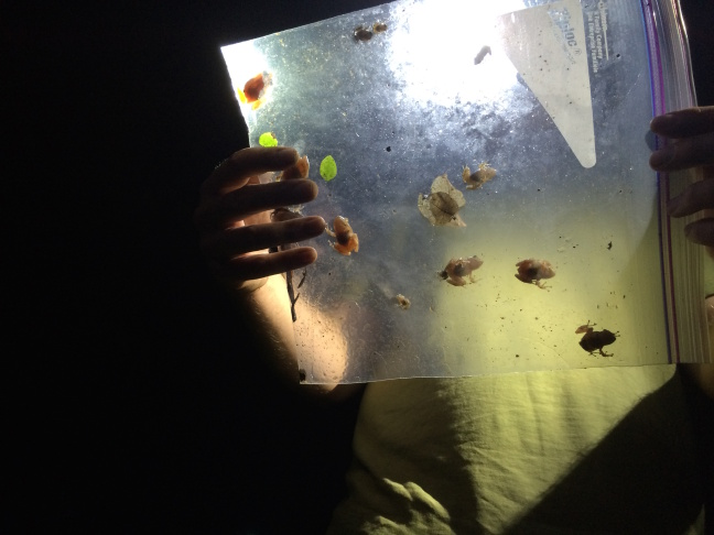 Greg Pauly examines the coqui frogs he has captured. His team captured 100 over a three-hour period.