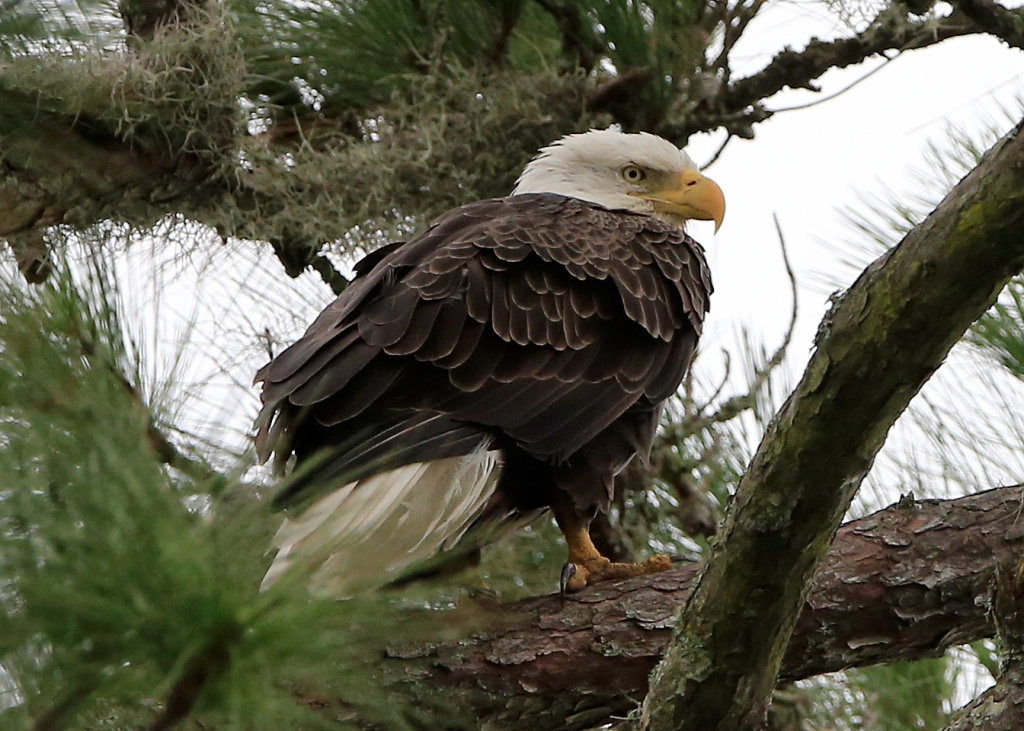 File: A bald eagle as seen on October 2, 2015 in Ponte Vedra, Florida.
