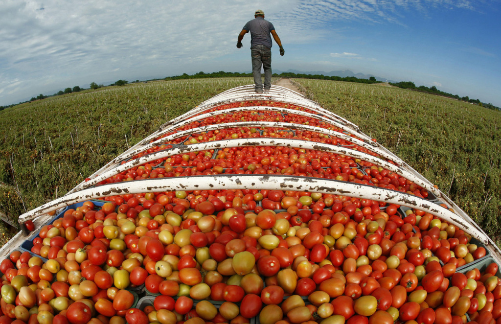 FEBRUARY 26, 2014. TEACAPAN, SINALOA, MEXICO.  At the end of the work day, a transport truck is filled to the brim with Roma tomatoes from a  Cristo Rey, Sinaloa, Mexico farm.