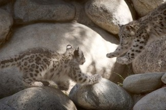 A pair of rare snow leopard cubs play at the Los Angeles Zoo and Botanical Gardens.