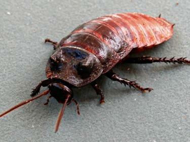 Madagascar Hissing Cockroach Colony