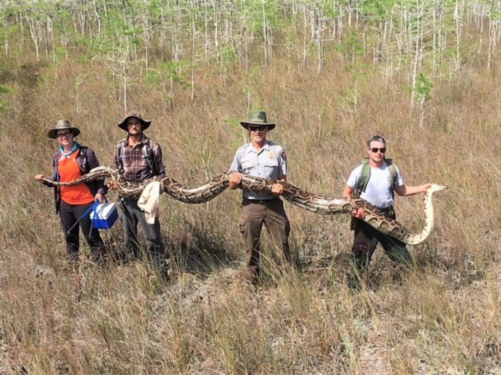 On Friday, Big Cypress National Preserve announced in a post to Facebook that its team of researchers had discovered a 17-foot python, the largest one ever to be removed from the swamp.