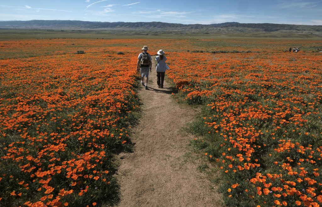 Visitors walk among the poppies at Antelope Valley California Poppy Reserve in Lancaster, California on March 19, 2017.