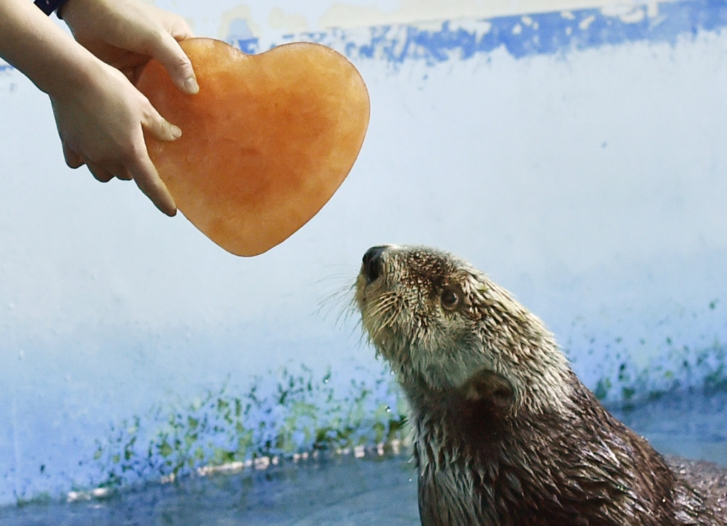 An Alaskan sea otter is given a heart-shaped block of ice, presented by his keeper, inside its enclosure in the aquarium of an amusement park in Yokohama.