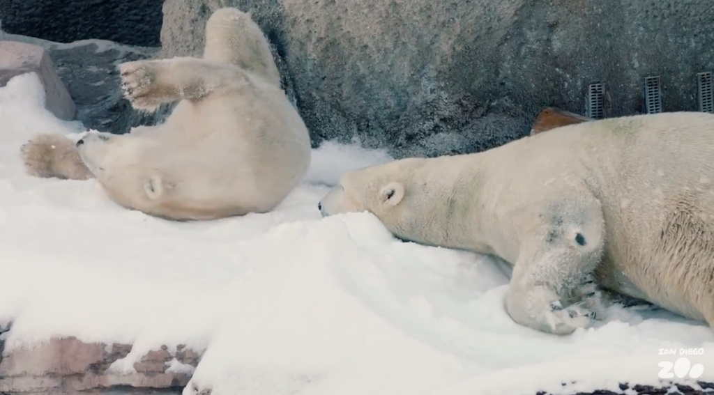 Two polar bears at the San Diego Zoo roll around in nearly 26 tons of snow brought in as a surprise for the animals.