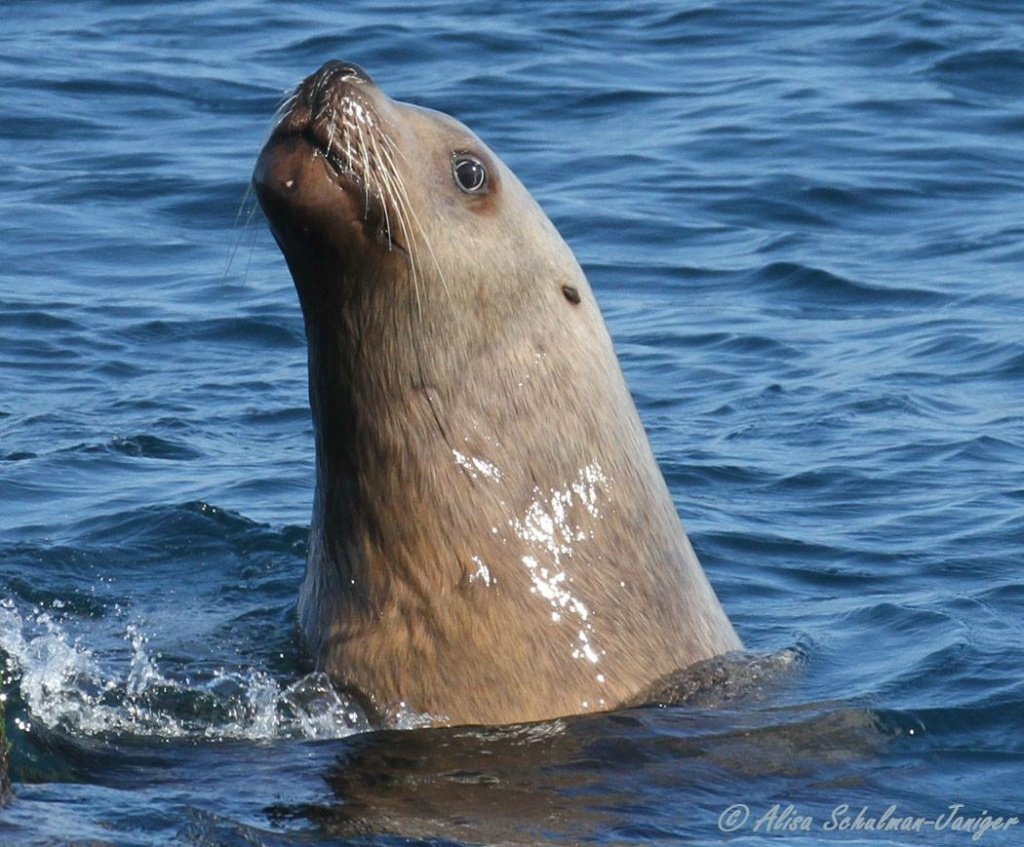 Rare male Steller sea lion photographed next to the Long Beach Buoy on February 17, 2015.