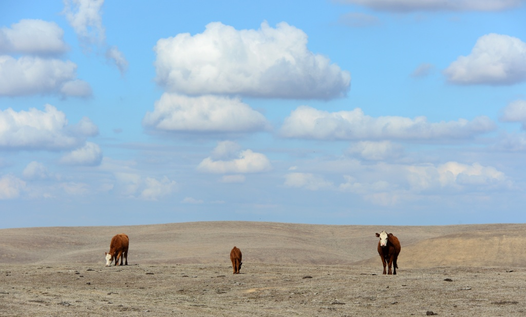 Hereford cattle roam the dirt-brown fields of a ranch in Delano, Calif.