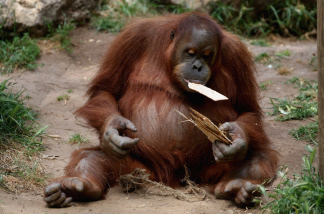 Pound for pound, orangutans use less energy than any mammal ever measured, except for tree sloths. Scientists believe their energy needs may be dialed way down because a staple of their diet in the wild, fruit, can be hard to find for many months of the year.