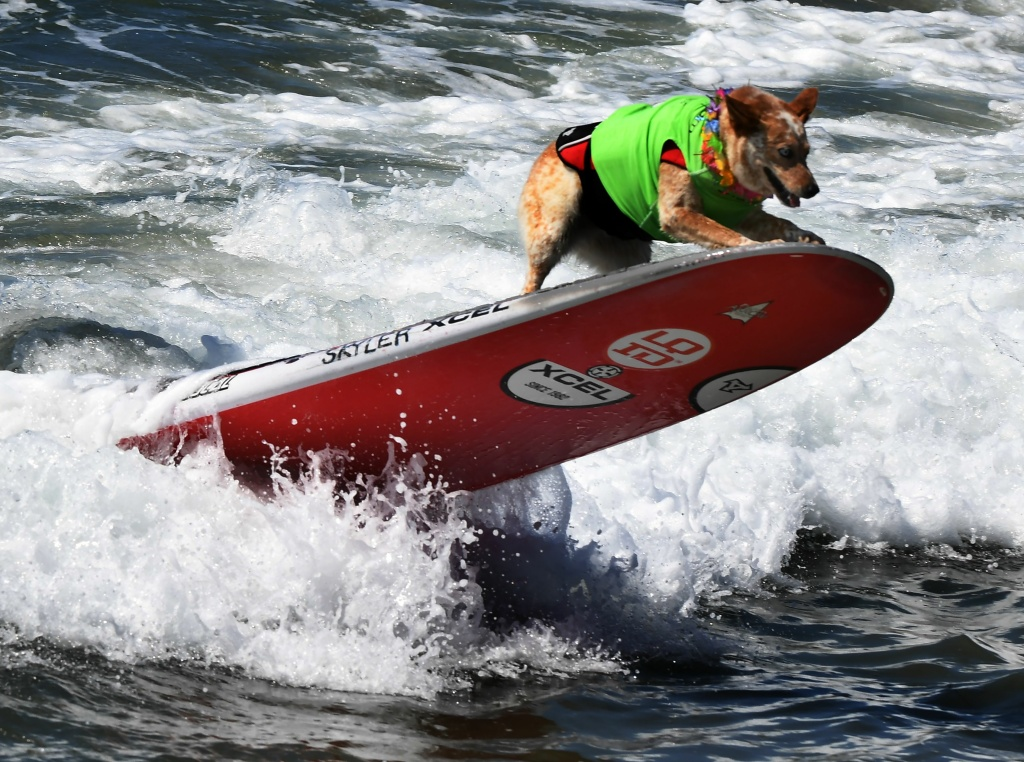 Surf dog Skyler competes in the 9th annual Surf City Surf Dog event at Huntington Beach, California on September 23, 2017.