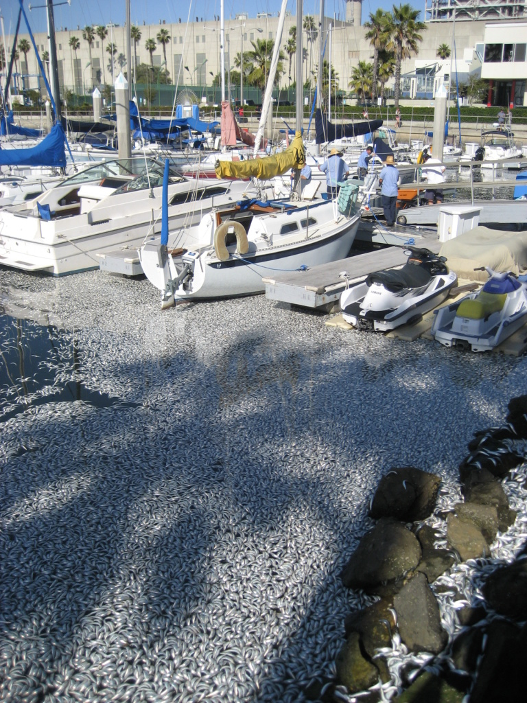 Millions of dead sardines filled the northern part of Redondo Beach's King Harbor on March 8, 2011.