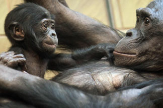 A three-month-old baby bonobo plays with its mother at a zoo in Frankfurt in 2008. A newborn ape typically weighs about 3 percent of what its mother weighs, while human babies weigh about 6 percent of their mothers' weight.