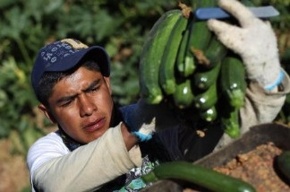 A migrant farm worker from Mexico harvests organic zucchini while working at the Grant Family Farms. In Mexico, an estimated 1 million laborers are living and working in squalid conditions.