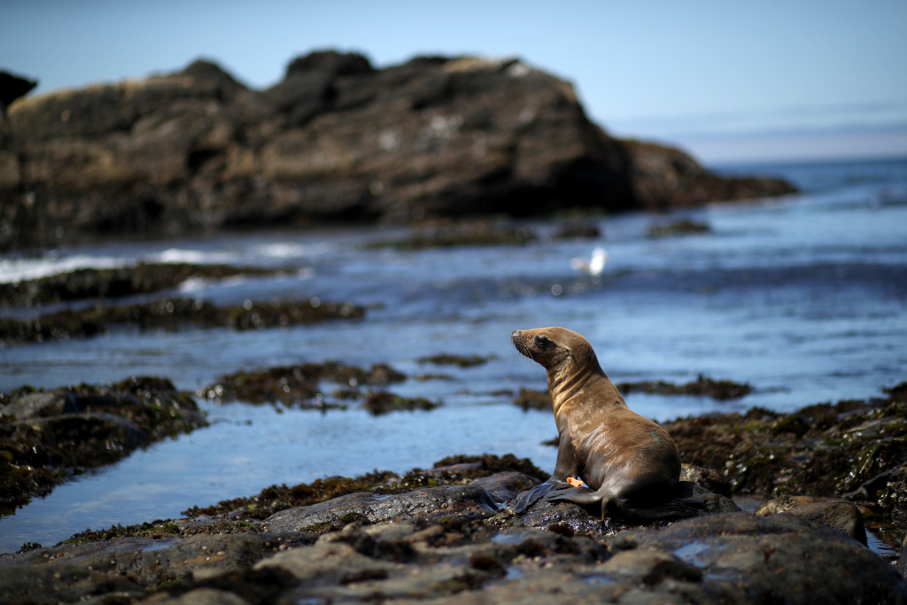 A California sea lion yearling walks towards the water on a beach at Point Lobos State Reserve on July 10, 2019 in Carmel, California.