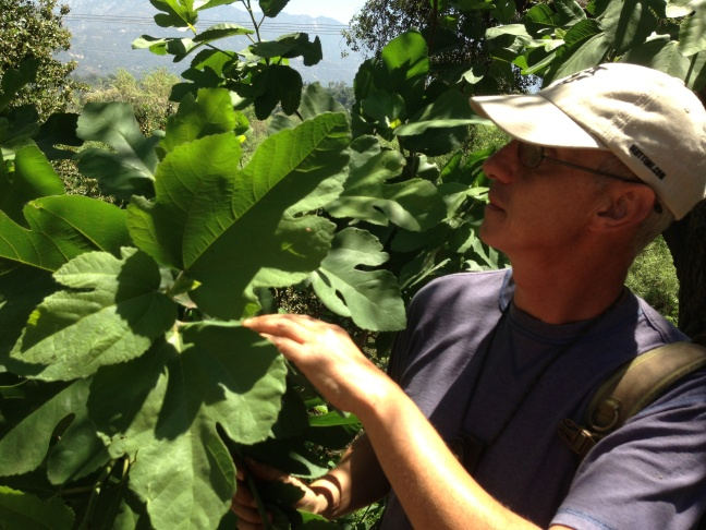 Pascal Baudard inspects a wild fig tree. Even when not bearing ripe figs, you can use the fig leaves to wrap food and cook it. Mia Wasilevich prepared a nectarine cooked in wild fig leaves.