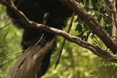 A chimp walks along a branch toting a sharp spear